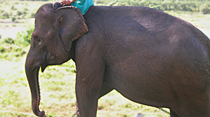 Ascertaining the Status of the Domestic Elephant Population in Sri Lanka (initiated 2002)